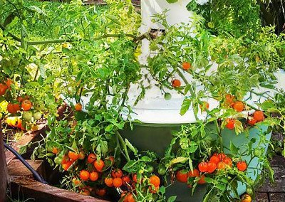 Cherry tomatoes grown in the Tower Gardens® at Santa Barbara Urban Farms.