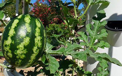 Growing Aeroponic Melons on a Tower Garden
