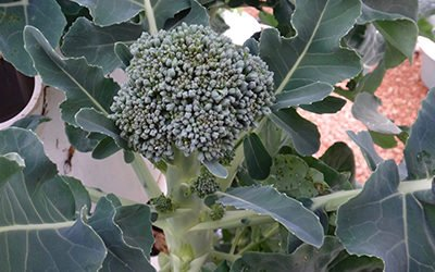 Aeroponic Broccoli on a Tower Garden