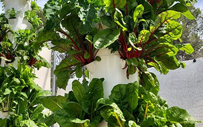 Growing Aeroponic Chard on a Tower Garden