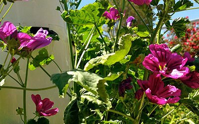Edible Flowers on Aeroponic Towers