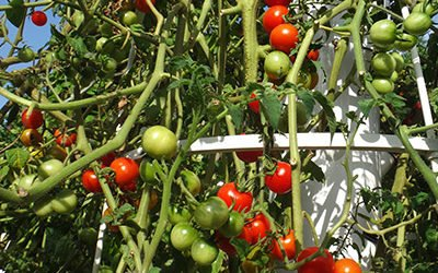 Growing Tomatoes on a Tower Garden