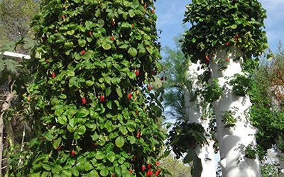 Growing aeroponic strawberries on a Tower Garden