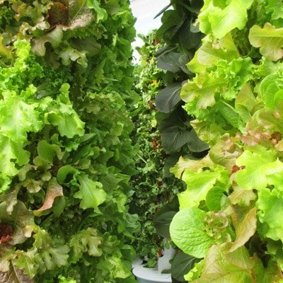 Growing leafy greens and herbs in a commercial Tower Farm