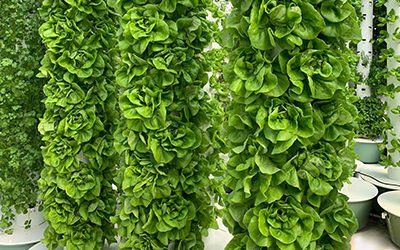 Harvests rotations for leafy greens & herbs