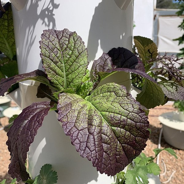 Growing aeroponic mustard greens on a Tower Garden