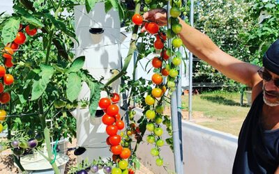 Aeroponic tomatoes on a Tower Garden