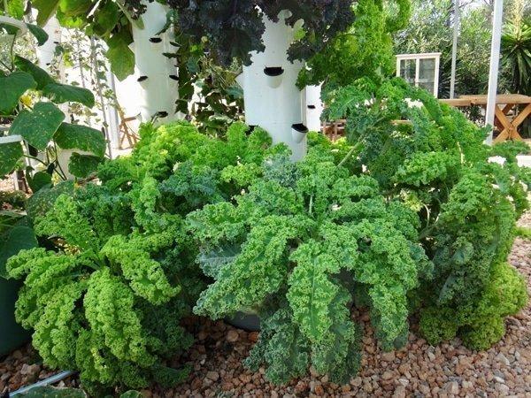 Cách trồng cải kale
